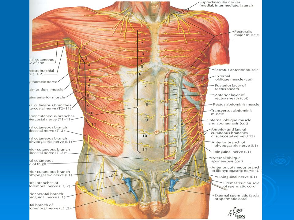 Clinical Anatomy Of Anterior Abdominal Wall Rectus Sheath Ppt