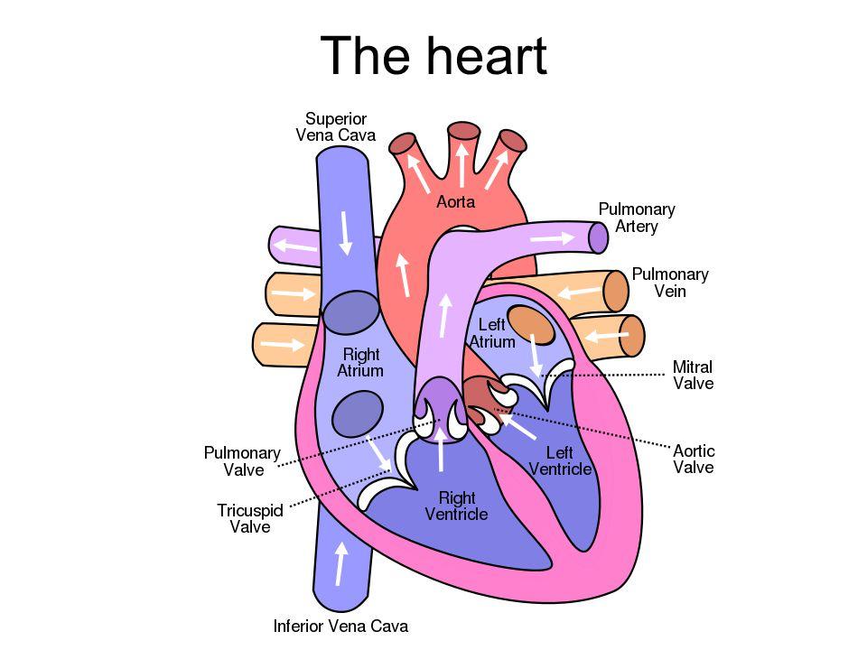 The Circulatory System Of Humans What Is That Lub Dub Lub Dub