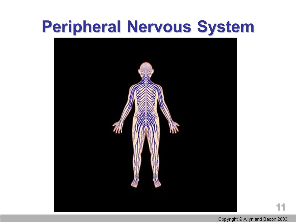 Copyright © Allyn and Bacon The Organization of the Nervous System Nervous system Peripheral nervous system Central nervous system (CNS) Autonomic nervous system Somatic nervous system Sympathetic nervous system Parasympathetic nervous system