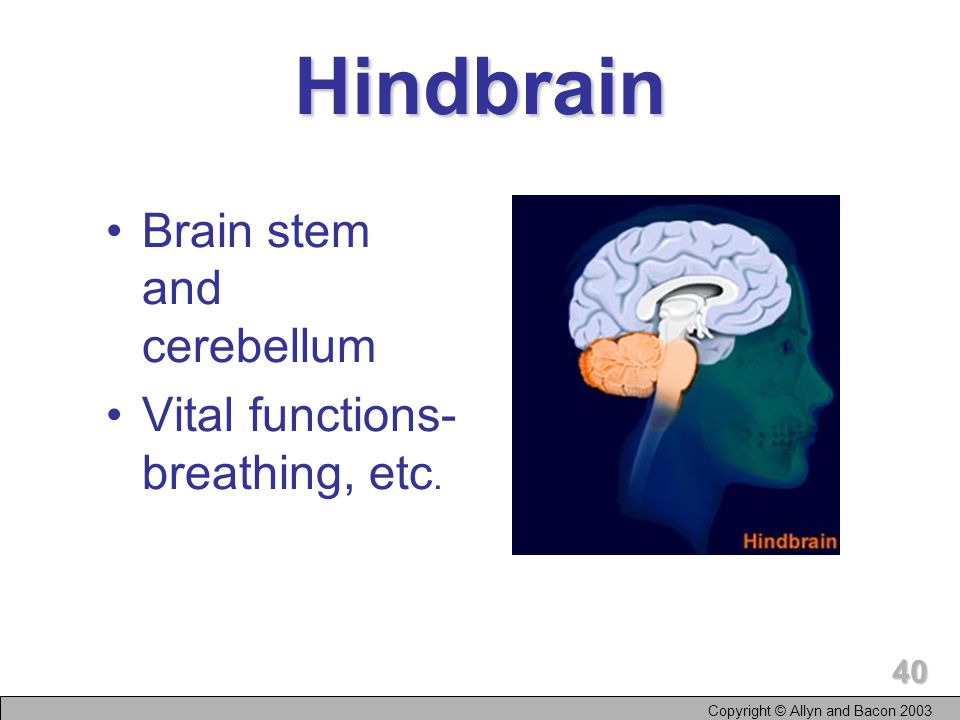 Copyright © Allyn and Bacon Layers of Brain Hindbrain Midbrain Forebrain