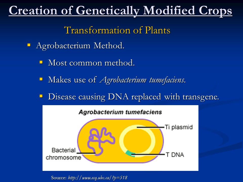 Creation of Genetically Modified Crops Transformation of Plants  Agrobacterium Method.