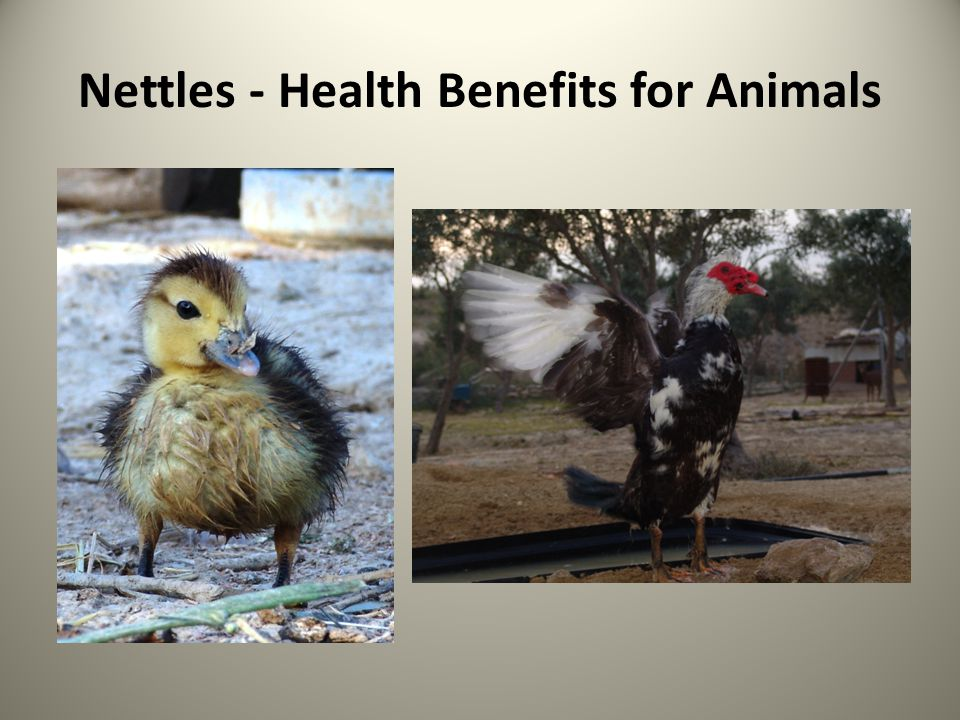 Nettles - Health Benefits for Animals