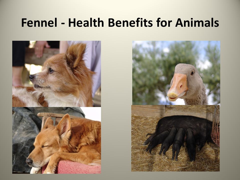 Fennel - Health Benefits for Animals