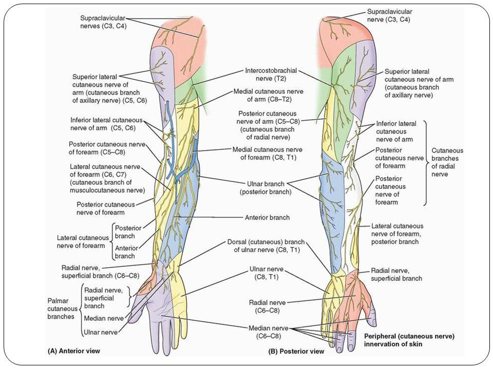 Dr Tatheer Zahra Assistant Professor Anatomy Nerves Of Upper Limb