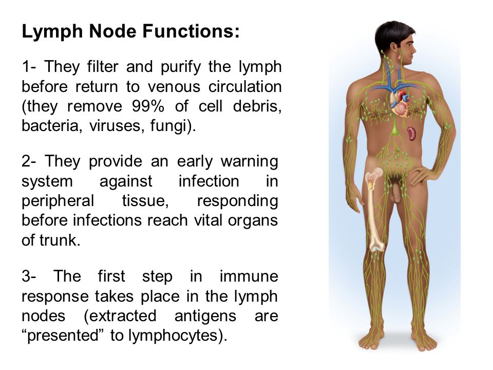Lymph Node Functions: 1- They filter and purify the lymph before return to venous circulation (they remove 99% of cell debris, bacteria, viruses, fungi).