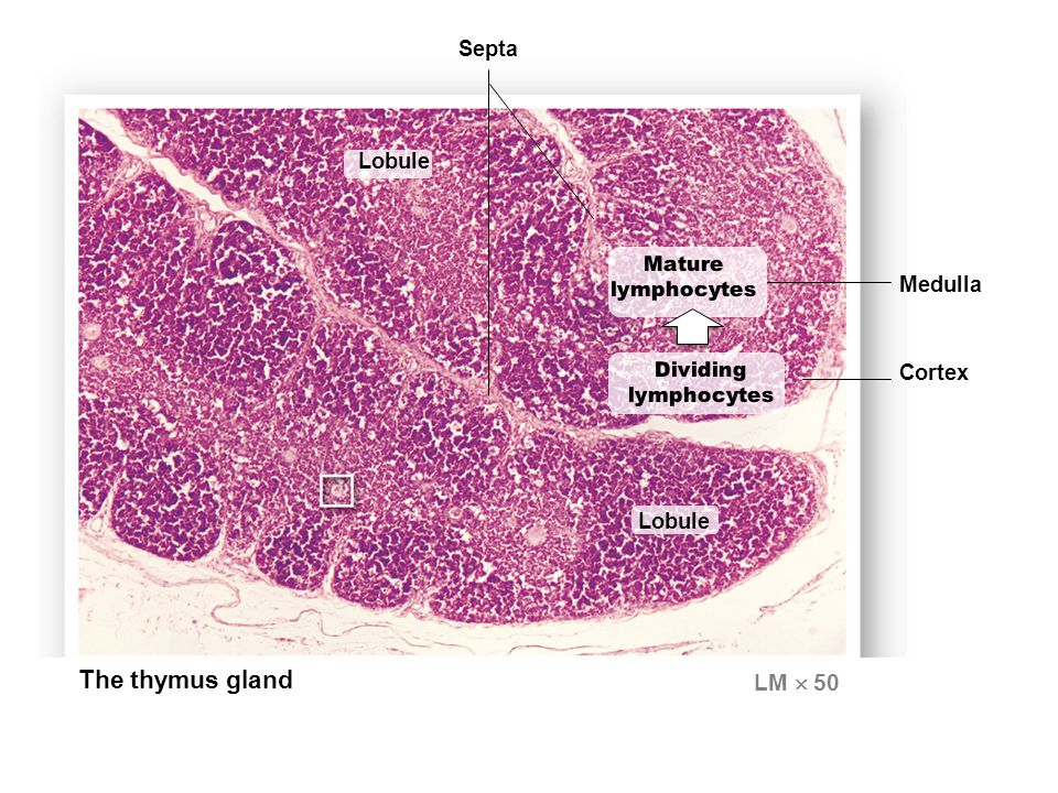 Lobule The thymus gland LM  50 Cortex Septa Medulla