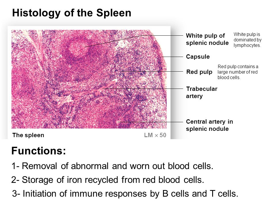 The spleen LM  50 White pulp of splenic nodule Capsule Red pulp Trabecular artery Central artery in splenic nodule White pulp is dominated by lymphocytes.