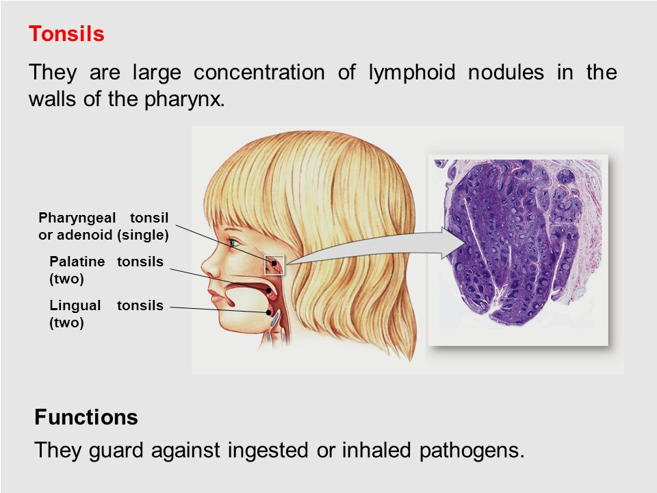 Tonsils Functions They are large concentration of lymphoid nodules in the walls of the pharynx.