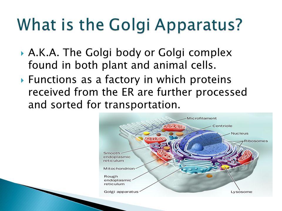 golgi complex animal cell
