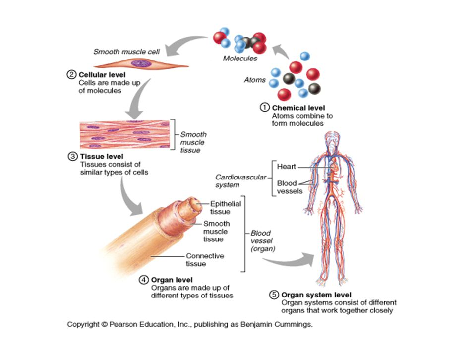 Human anatomy Chapter 1 Introduction to Human Anatomy. - ppt download