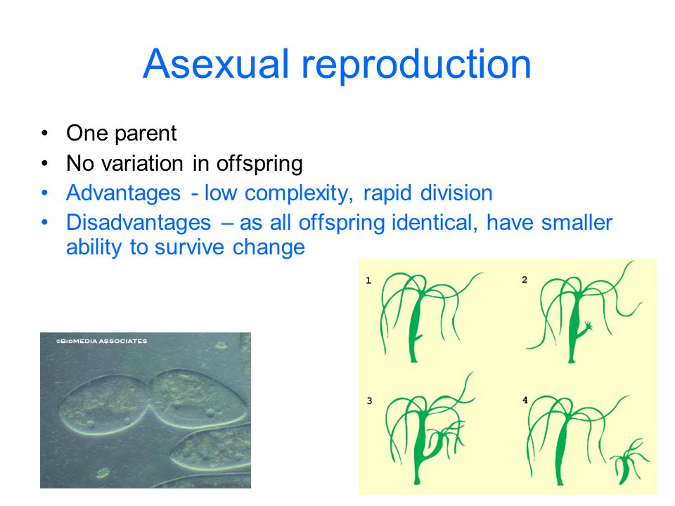 Advantages of asexual reproduction in cells one enzyme