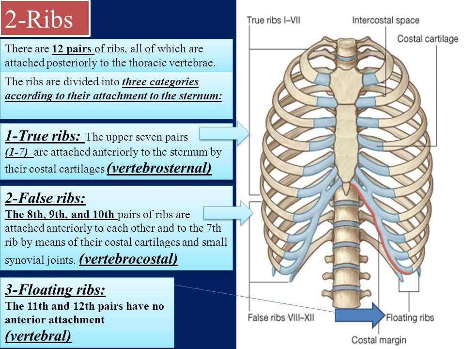 Anatomy Of The Thorax Anatomy Of The Thorax A The Thoracic Wall