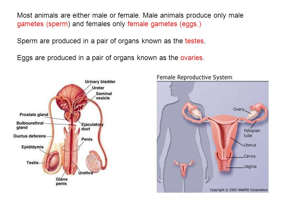 The Human Reproductive System Most Animals Are Either Male Or