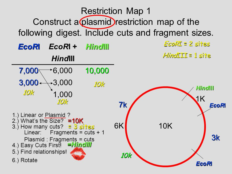 Restriction Map 1 Construct a plasmid restriction map of the