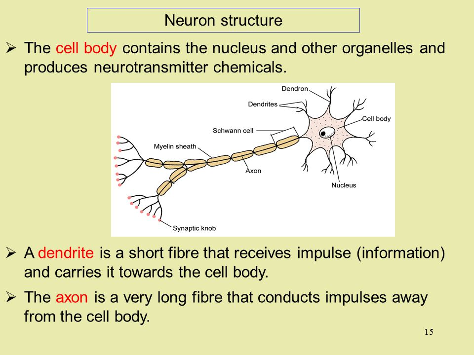  The cell body contains the nucleus and other organelles and produces neurotransmitter chemicals.