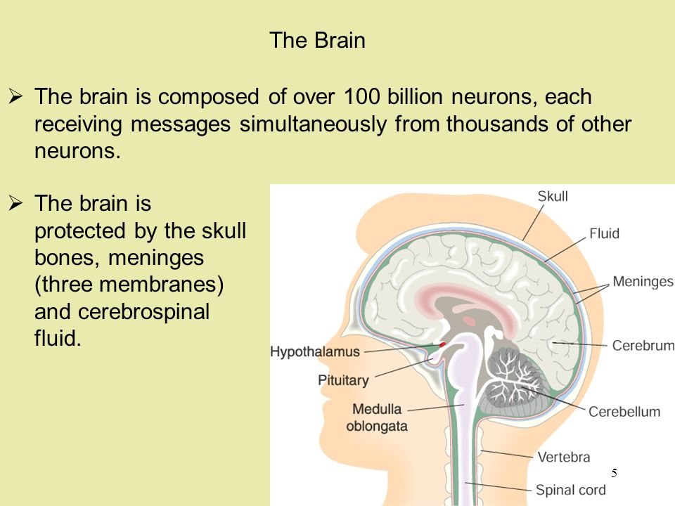 The brain is composed of over 100 billion neurons, each receiving messages simultaneously from thousands of other neurons.
