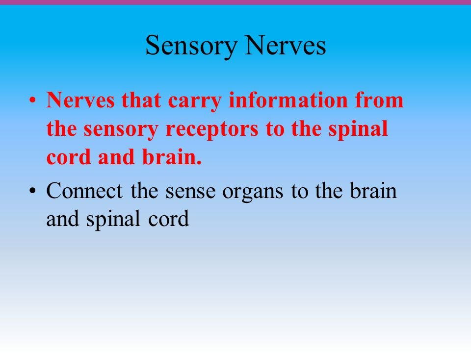 Sensory Nerves Nerves that carry information from the sensory receptors to the spinal cord and brain.