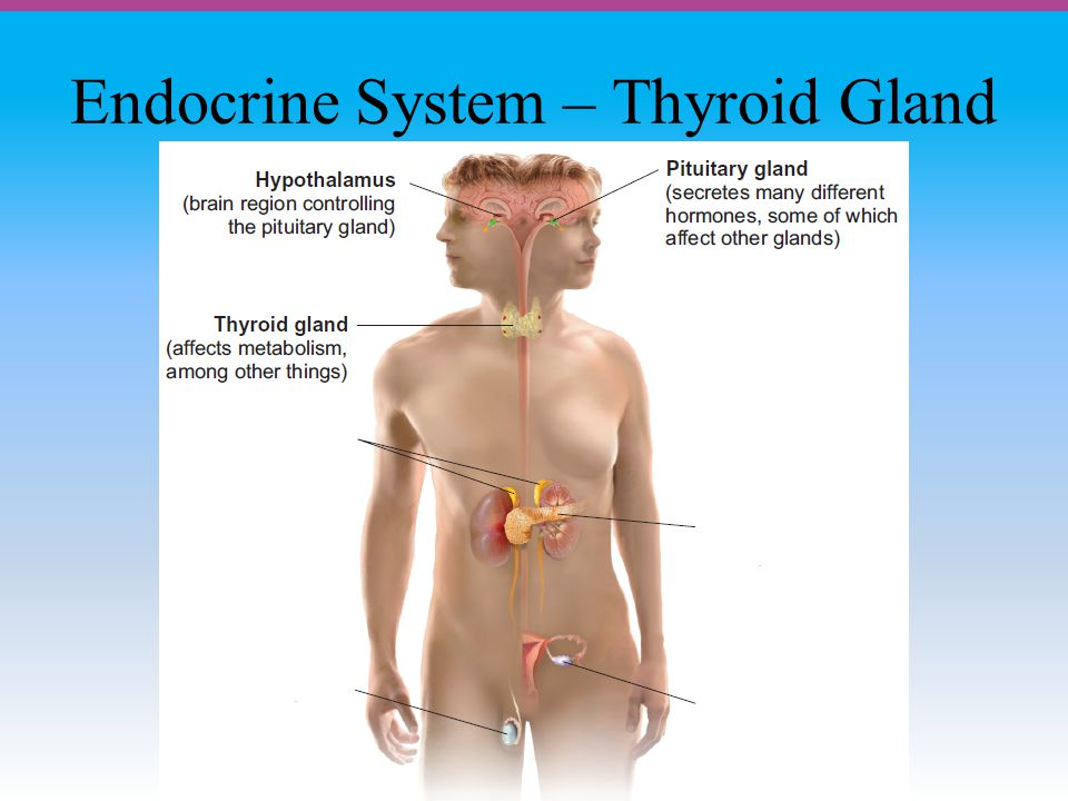 Endocrine System – Thyroid Gland