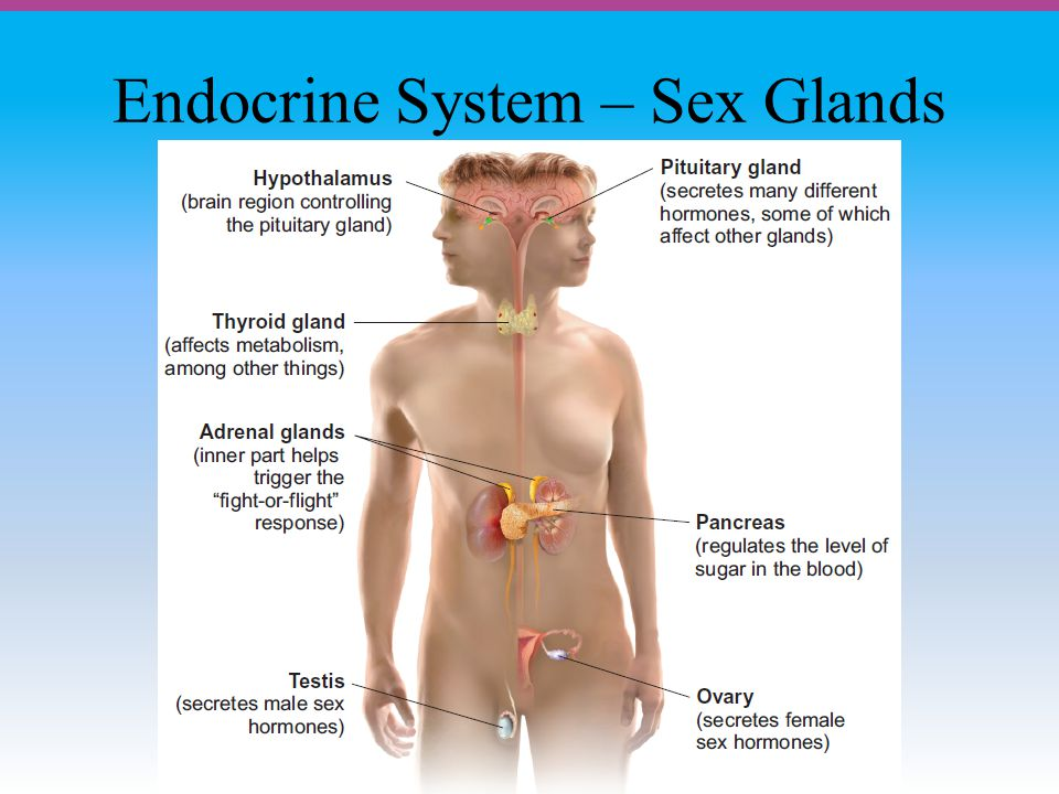 Endocrine System – Sex Glands