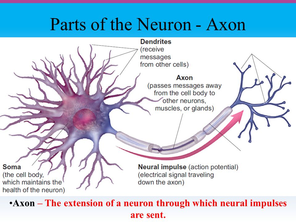 Parts of the Neuron - Axon Axon – The extension of a neuron through which neural impulses are sent.