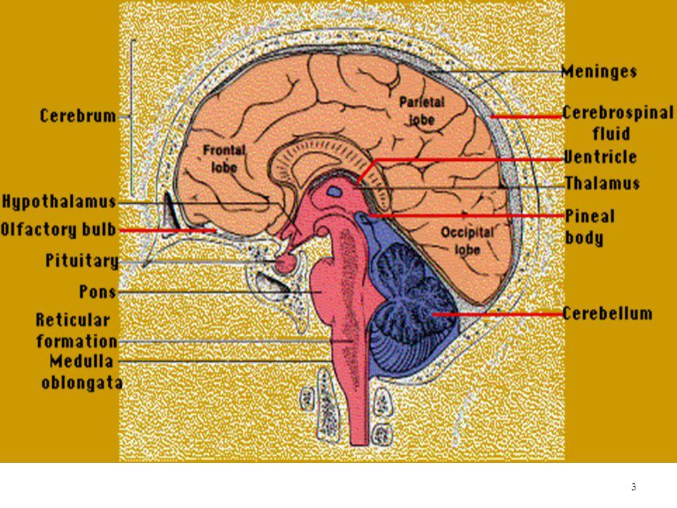 Brain Stem Medulla Oblongata Ppt Video Online Download