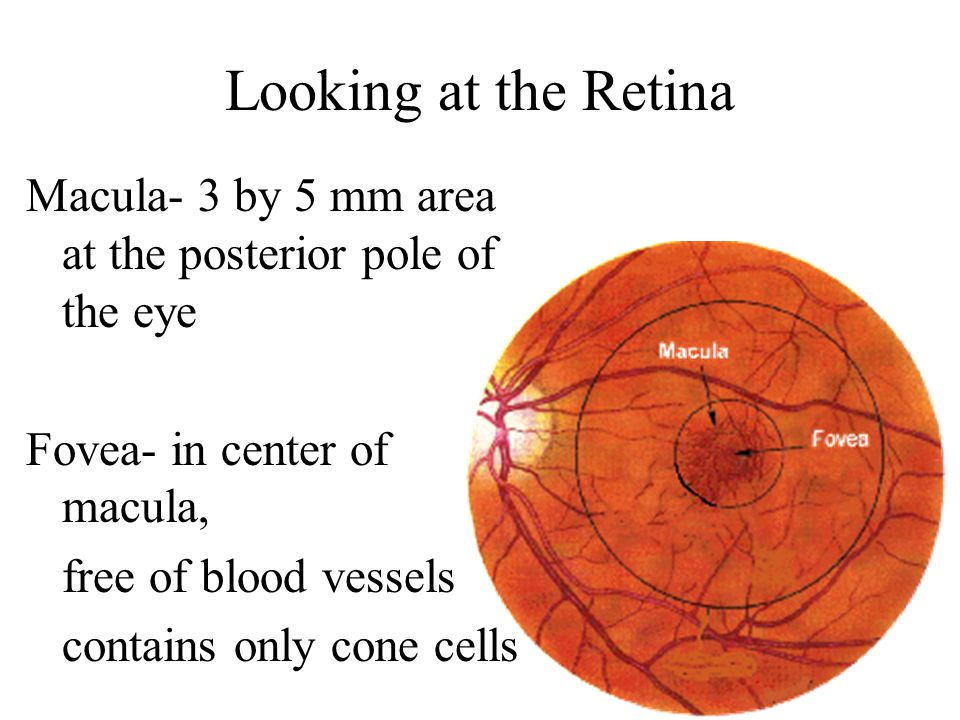 Gross Anatomy of the Eye Cornea at anterior –Light passes to lens ...