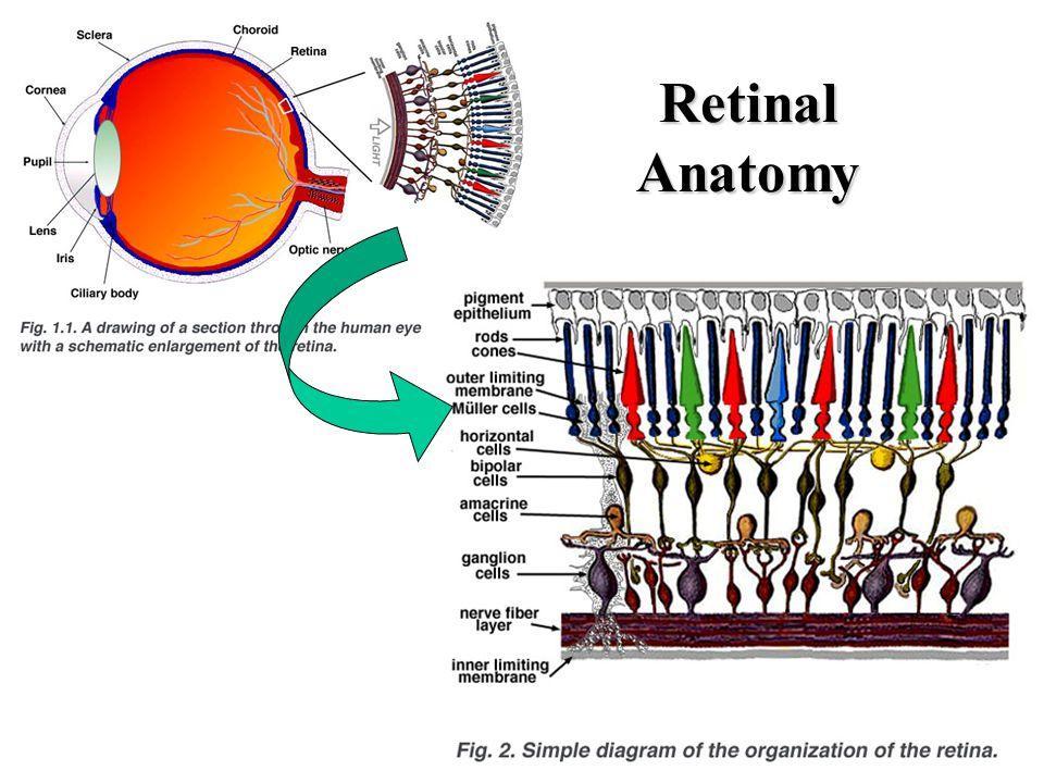 Gross Anatomy of the Eye Cornea at anterior –Light passes to lens ...