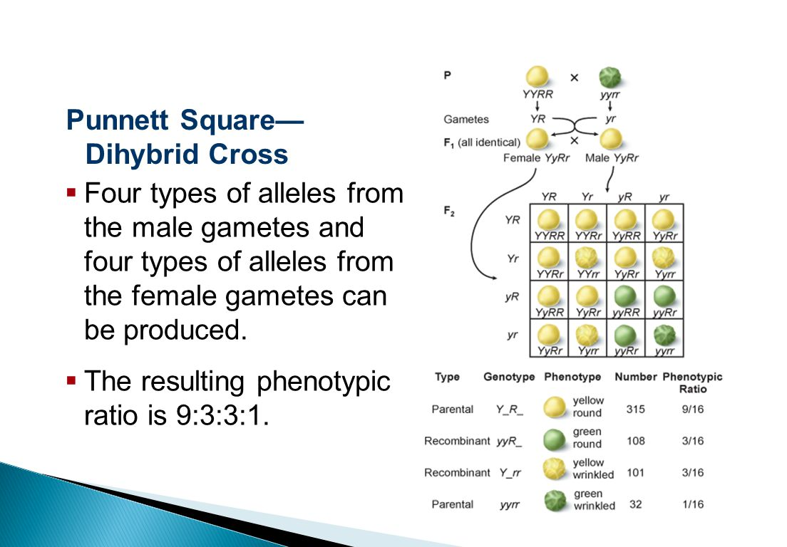 Sexual Reproduction and Genetics Punnett Square— Dihybrid Cross  Four types of alleles from the male gametes and four types of alleles from the female gametes can be produced.
