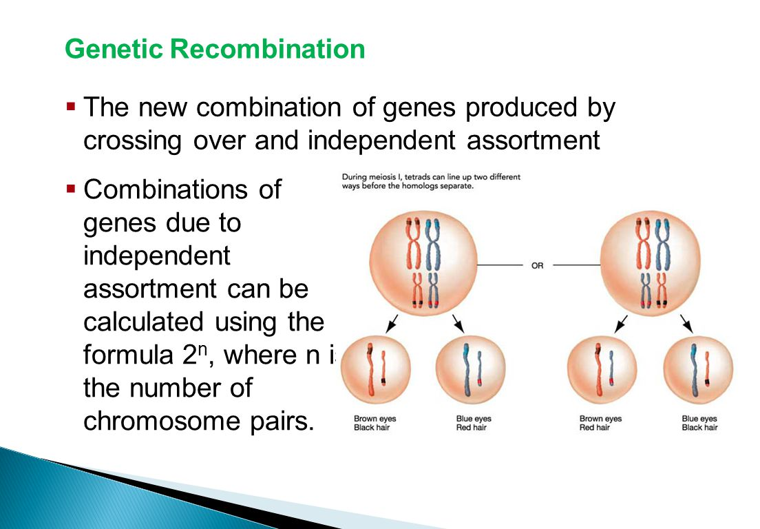 Genetic Recombination  The new combination of genes produced by crossing over and independent assortment Sexual Reproduction and Genetics  Combinations of genes due to independent assortment can be calculated using the formula 2 n, where n is the number of chromosome pairs.