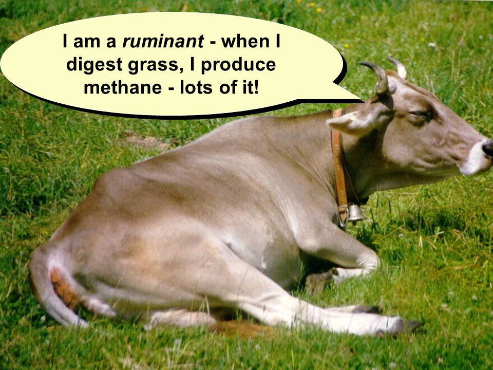I am a ruminant - when I digest grass, I produce methane - lots of it!