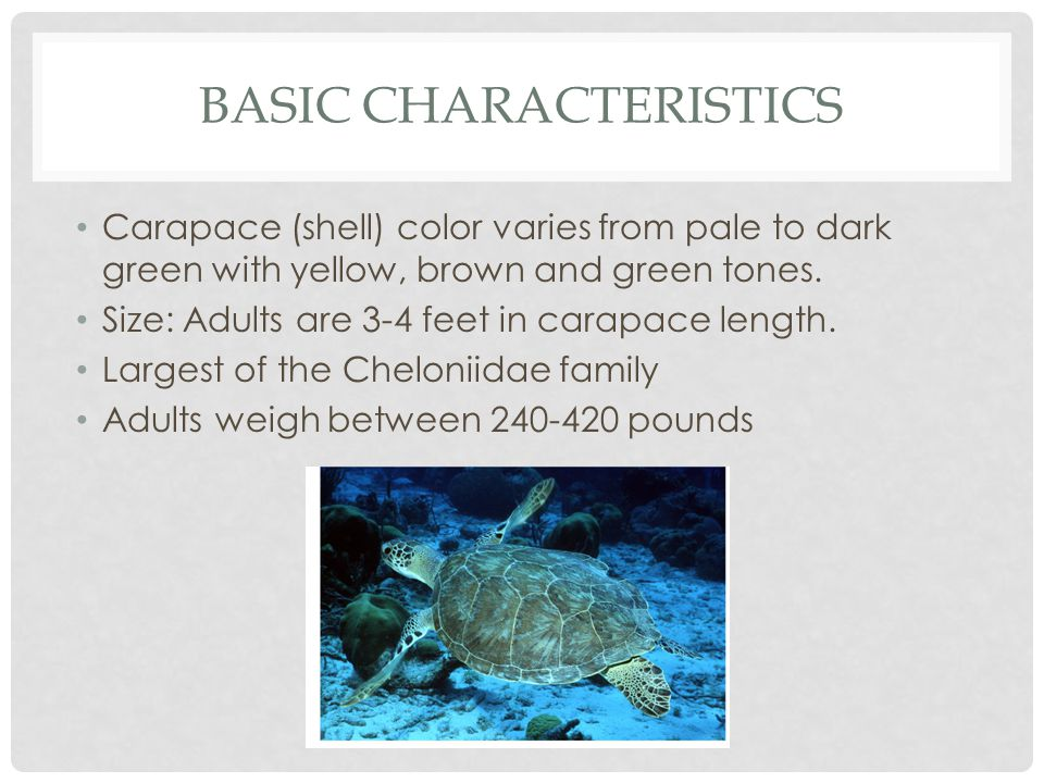 what are the characteristics of a turtle