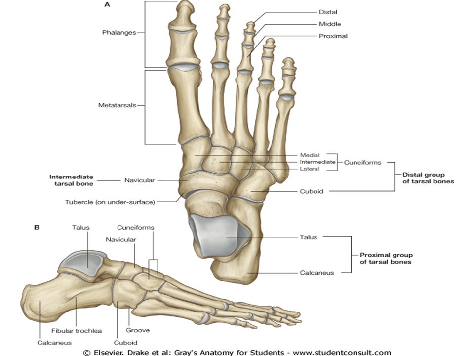 Ankle Joint. - ppt video online download