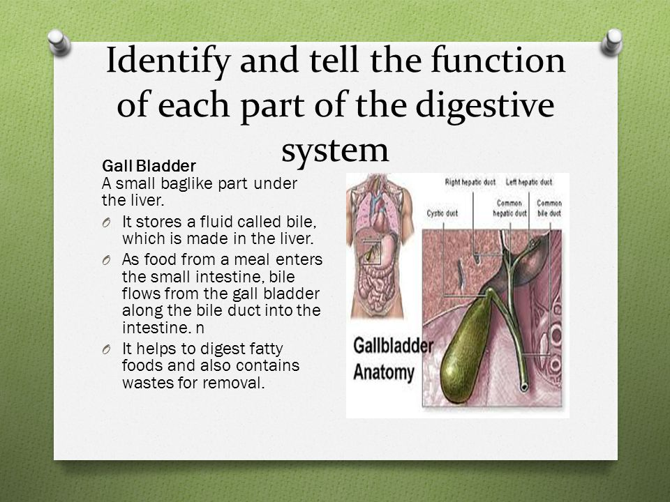 Identify and tell the function of each part of the digestive system Gall Bladder A small baglike part under the liver.