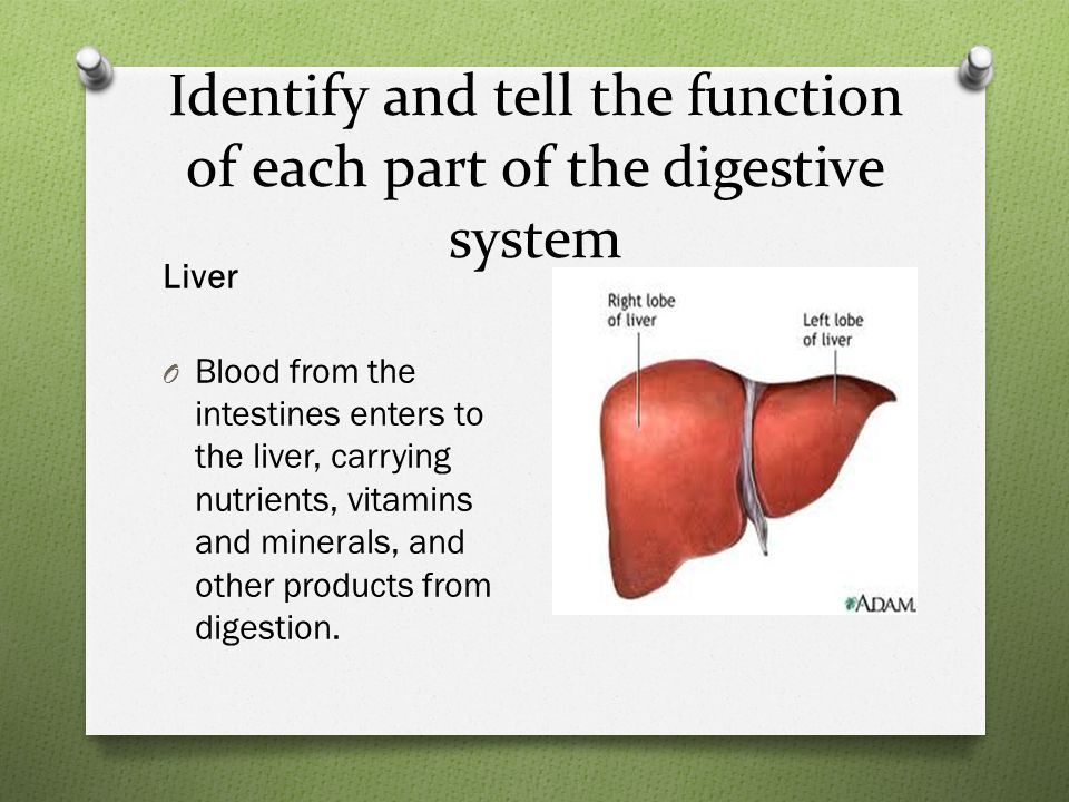 Identify and tell the function of each part of the digestive system Liver O Blood from the intestines enters to the liver, carrying nutrients, vitamins and minerals, and other products from digestion.