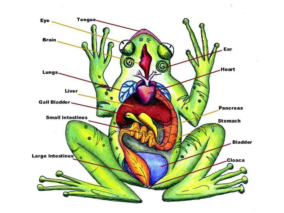 Amphibians Frogs Anatomy Vocabulary Body Systemsbody Systems