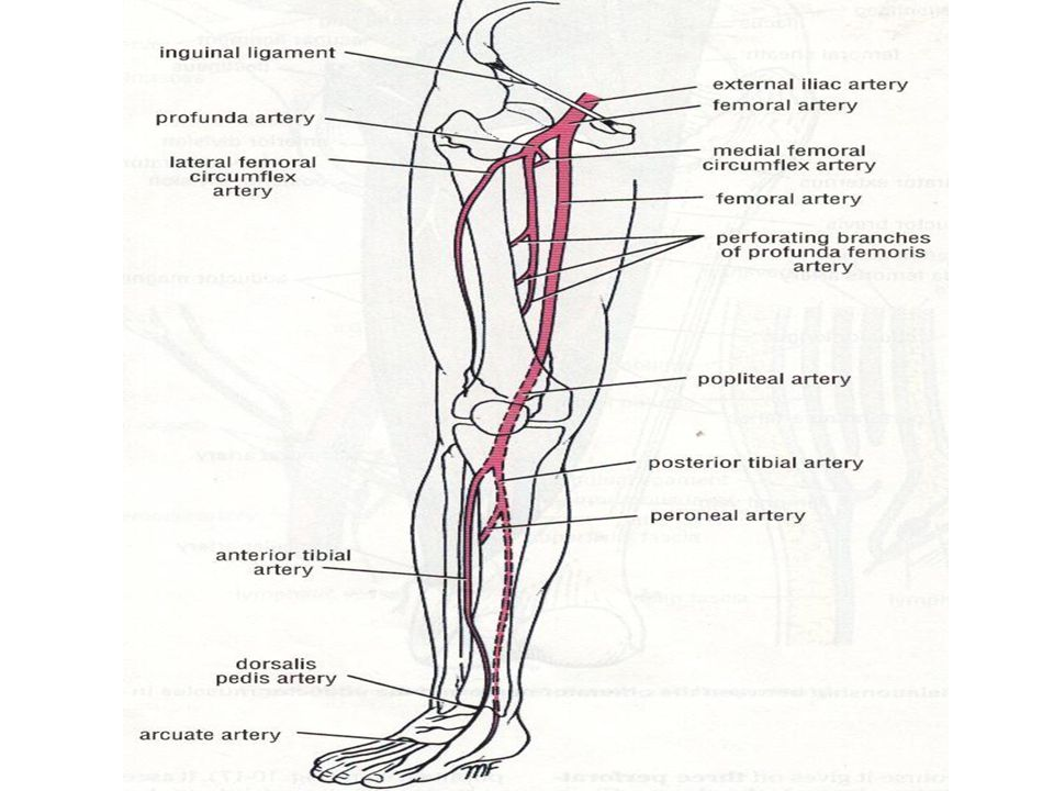 Arteries of lower extremity - ppt video online download