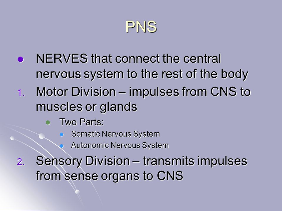 PNS NERVES that connect the central nervous system to the rest of the body NERVES that connect the central nervous system to the rest of the body 1.