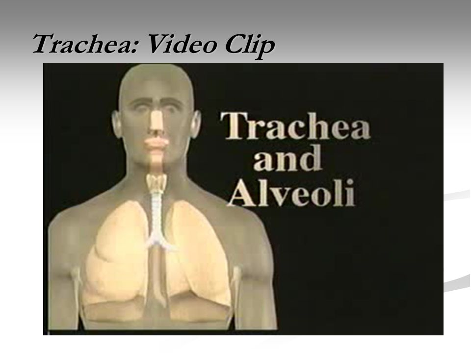 Trachea: Video Clip