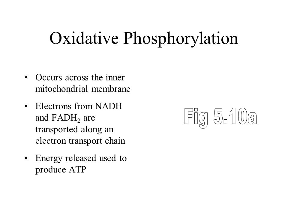 Oxidative Phosphorylation Occurs across the inner mitochondrial membrane Electrons from NADH and FADH 2 are transported along an electron transport chain Energy released used to produce ATP