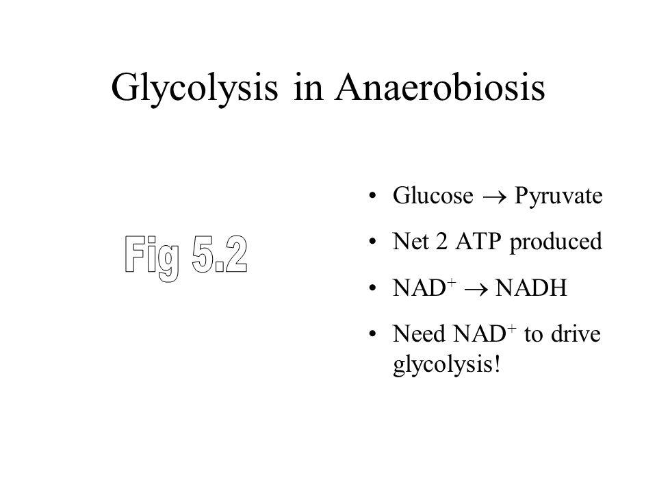 Glycolysis in Anaerobiosis Glucose  Pyruvate Net 2 ATP produced NAD +  NADH Need NAD + to drive glycolysis!