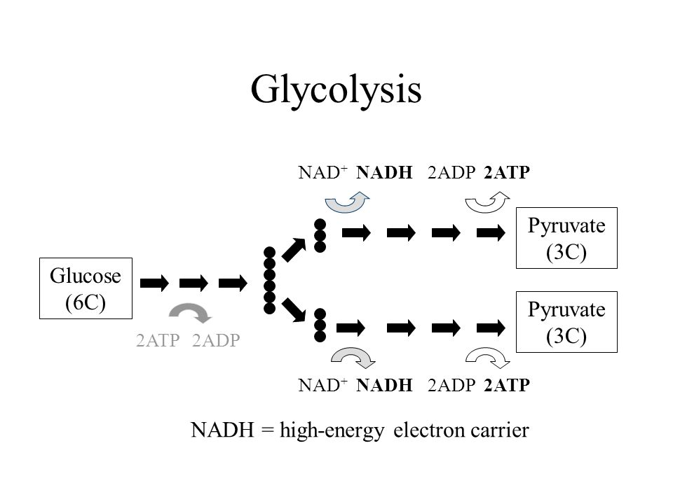 Glycolysis Glucose (6C) 2ATP 2ADP 2ADP 2ATP NAD + NADH Pyruvate (3C) NADH = high-energy electron carrier
