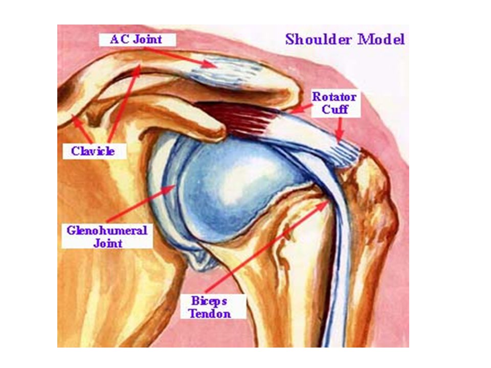 Bones of the Upper Limb. - ppt video online download