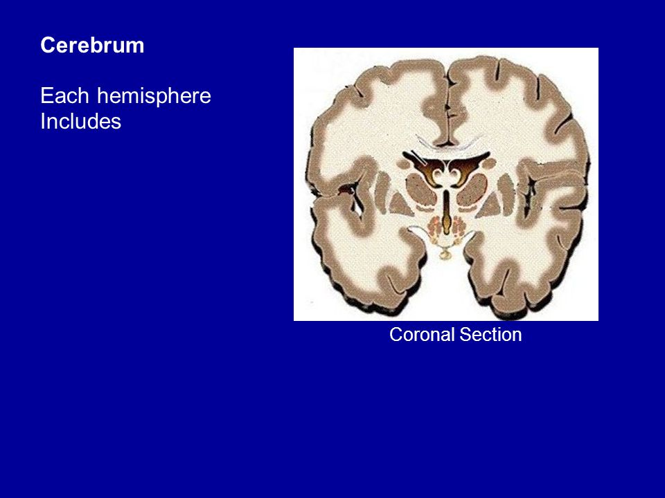 Cerebrum Each hemisphere Includes Coronal Section