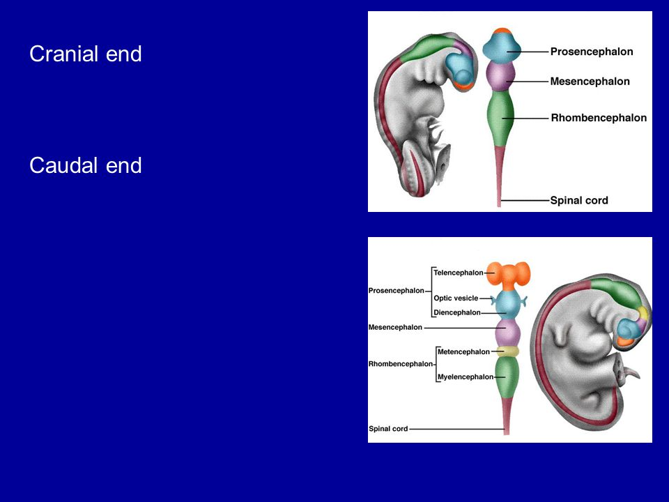 Embryology of nervous system Cranial end Caudal end