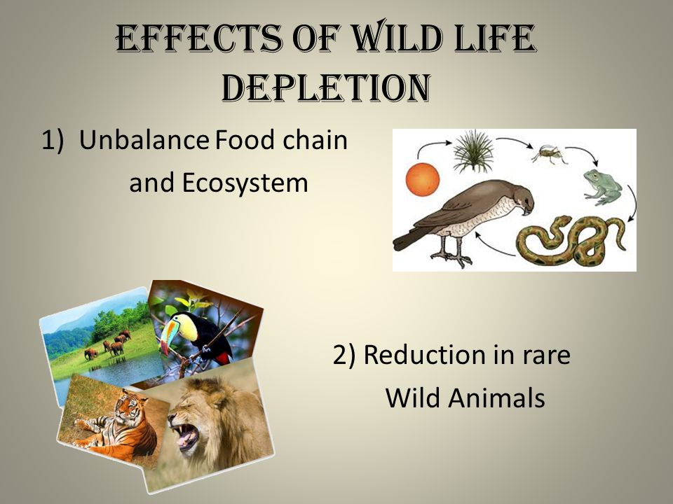Effects of Wild Life Depletion 1)Unbalance Food chain and Ecosystem 2) Reduction in rare Wild Animals