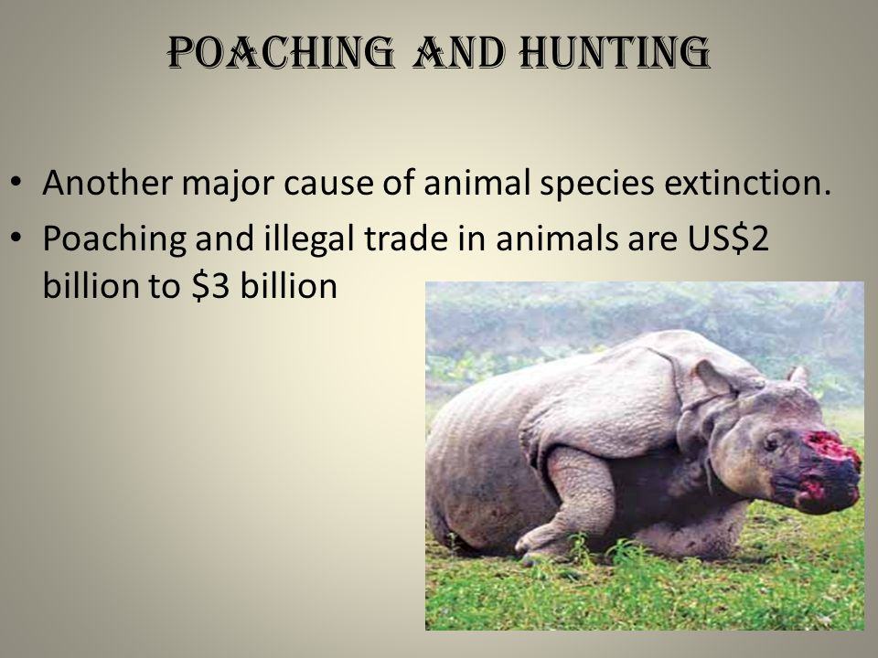 Poaching and hunting Another major cause of animal species extinction.