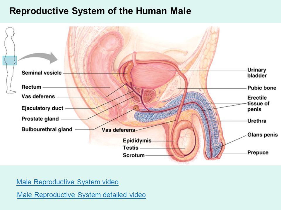 Animal Reproduction and Development Reproduction Song. - ppt download