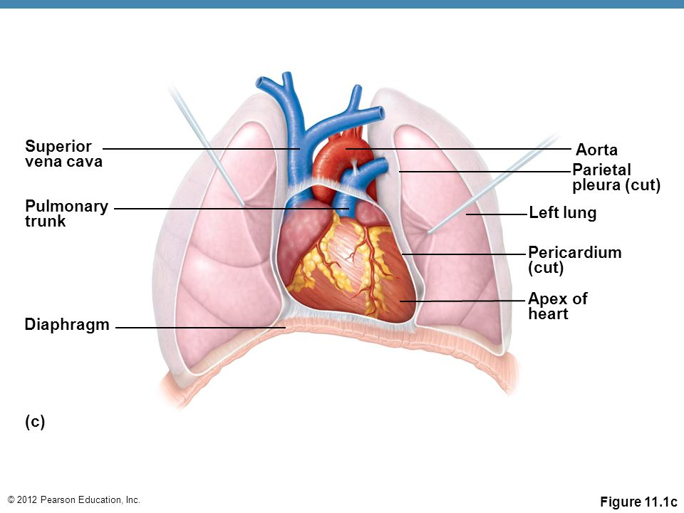 A closed system of the heart and blood vessels › The heart pumps ...