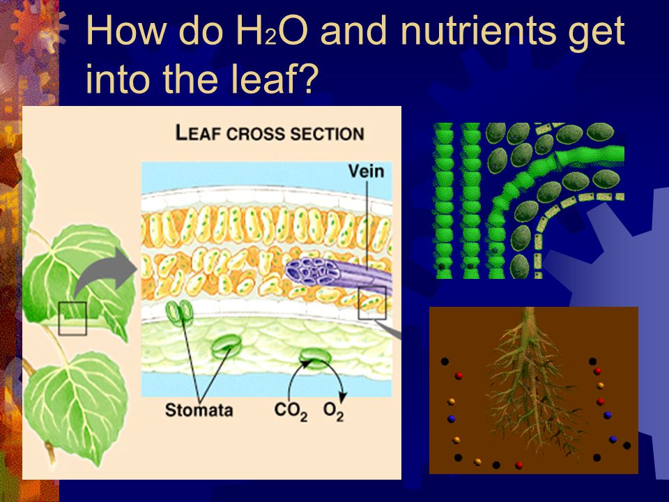 How do H 2 O and nutrients get into the leaf