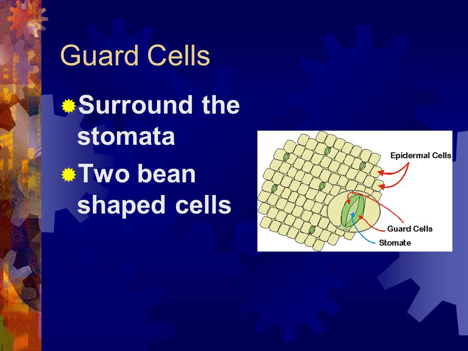 Guard Cells  Surround the stomata  Two bean shaped cells